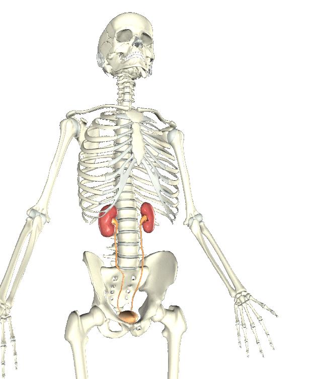 Urinary System Explained - CTE Skills