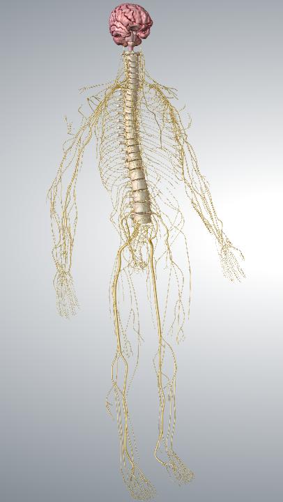 The Nervous System Cte Skills